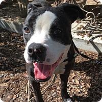 Staffordshire Bull Terrier/Boxer Mix Dog for adoption in Santa Ana, California - Nobu
