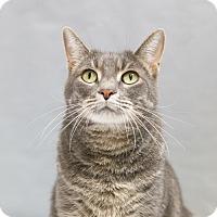 Domestic Shorthair Cat for adoption in Houston, Texas - Michael