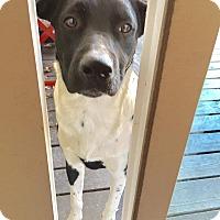 Adopt A Pet :: Butch - Austin, TX