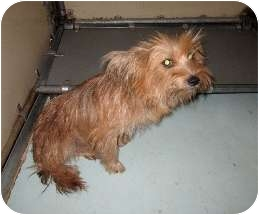 Yorkie, Yorkshire Terrier Mix Dog for adoption in Calgary, Alberta - Kahlua