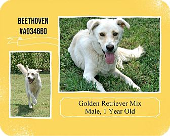 Golden Retriever Mix Dog for adoption in Lufkin, Texas - Beethoven