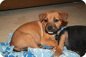Labrador Retriever/Shepherd (Unknown Type) Mix Puppy for adoption in Homewood, Alabama - Sassy