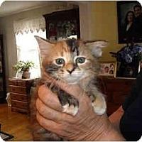 Adopt A Pet :: Amber - Riverside, RI