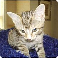 Adopt A Pet :: Bit-O-Honey - Colmar, PA