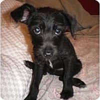 Adopt A Pet :: Archie - Hilliard, OH