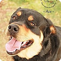 Adopt A Pet :: Ace - Scottsdale, AZ