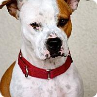 Adopt A Pet :: Bling - Sacramento, CA