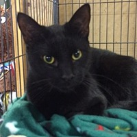 Domestic Shorthair Cat for adoption in Saginaw, Michigan - Moe