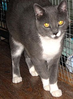 Domestic Shorthair Cat for adoption in Spring Lake, New Jersey - Clair
