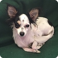 Adopt A Pet :: Spice Girl Thumbaline - San Marcos, CA