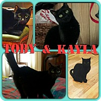Domestic Shorthair Cat for adoption in Brooklyn, New York - Toby