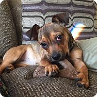 Adopt A Pet :: Moxie - Newtown, CT