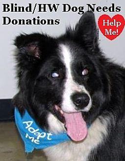 """Border Collie Dog for adoption in Minerva, Ohio - Stevie Wonder """"I'm Blind"""""""