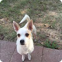 Adopt A Pet :: Beebee - Manchester, VT
