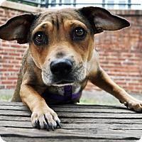 Adopt A Pet :: AMELIA - Boston, MA