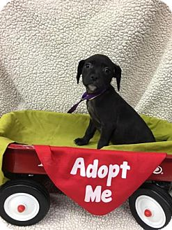 Labrador Retriever/Australian Shepherd Mix Puppy for adoption in Plainfield, Illinois - Babs