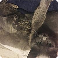 Adopt A Pet :: Mamsita - Vancouver, BC