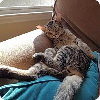 Domestic Shorthair Kitten for adoption in Huntsville, Alabama - Suzie Q