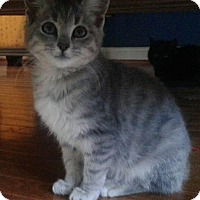 Adopt A Pet :: Lex - Big Loveable Kitten - Arlington, VA