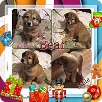 Adopt A Pet :: Bear meet me 12/16 - Manchester, CT
