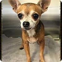 Adopt A Pet :: Harley Quinn - Los Alamitos, CA