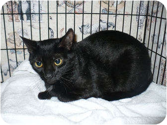 Domestic Shorthair Cat for adoption in Colmar, Pennsylvania - Blueberry