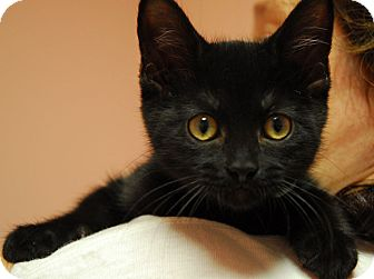 Domestic Shorthair Kitten for adoption in Lunenburg, Massachusetts - Mary