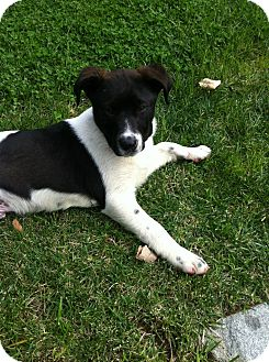Border Collie/Australian Shepherd Mix Dog for adoption in Burbank, California - Ollie - Loves Dogs and Kids