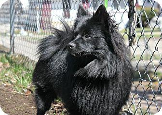 Pomeranian Dog for adoption in Grand Rapids, Michigan - Cocoa