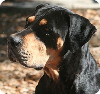 Alachua, GA - Rottweiler/Great Dane Mix. Meet Ansel a Dog ...