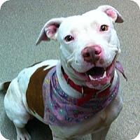 Adopt A Pet :: Amber - Gilbert, AZ