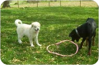 Great Pyrenees Puppy for adoption in Chandler, Indiana - Kona