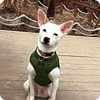 Adopt A Pet :: Saseum - Elmhurst, IL
