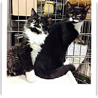 Domestic Shorthair Kitten for adoption in Cliffside Park, New Jersey - JET