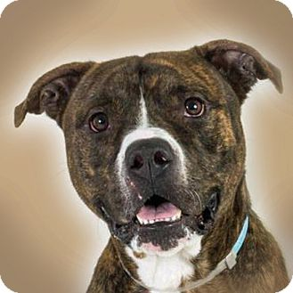 American Bulldog/Pit Bull Terrier Mix Dog for adoption in Prescott, Arizona - Samuel