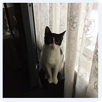 Domestic Shorthair Kitten for adoption in Grand Ledge, Michigan - Udele