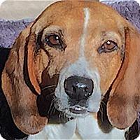 Adopt A Pet :: Allie - Houston, TX