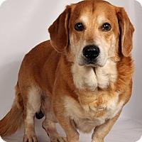 Adopt A Pet :: Doug Sunny BassetGolden - St. Louis, MO