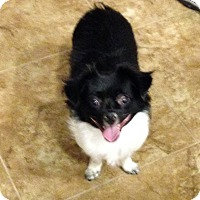 Chihuahua Mix Dog for adoption in Irvine, California - Peanut