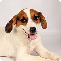 Adopt A Pet :: Eva Borderhound - St. Louis, MO