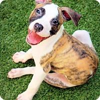 Adopt A Pet :: Shula - Ft. Lauderdale, FL