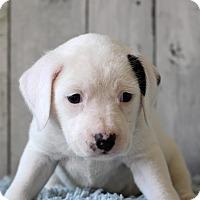 Adopt A Pet :: Genty - Waldorf, MD