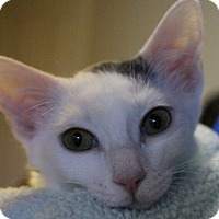 Domestic Shorthair Kitten for adoption in Colorado Springs, Colorado - Arbyrd