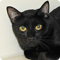 Domestic Shorthair Cat for adoption in Woodstock, Illinois - Midnight