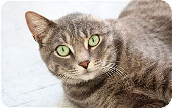 Domestic Shorthair Cat for adoption in Lincoln, California - Sasha
