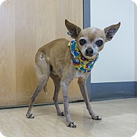 Chihuahua Mix Dog for adoption in Seattle, Washington - Simba