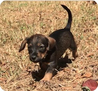 Poodle (Toy or Tea Cup)/Yorkie, Yorkshire Terrier Mix Puppy for adoption in Birmingham, Alabama - Bert