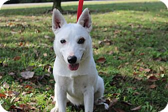 Australian Cattle Dog/Corgi Mix Dog for adoption in Conway, Arkansas - Izzy