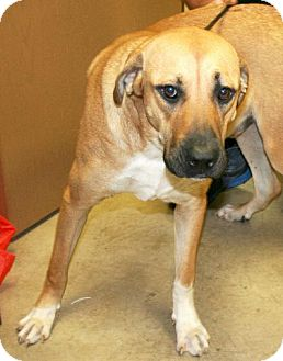 Mountain Cur Mix Dog for adoption in Irving, Texas - Grute