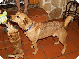 Labrador Retriever Dog for adoption in Olympia, Washington - DaltonW